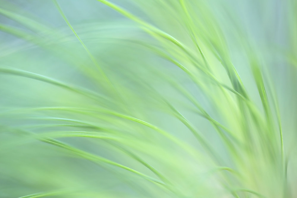 """Pastel Grasses"" - Papyrus in soft light at the Huntington Garden near Pasadena"