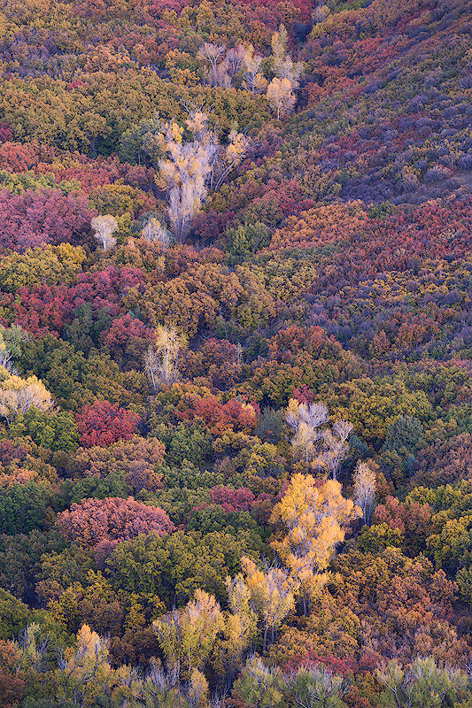 """Who Needs Vermont?"" - A colorful hillside of oaks and cottonwoods in the San Juan Mountains of Colorado."