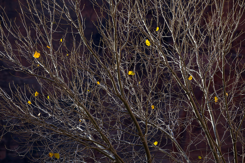 """Last to Leave"" - A few persistent leaves cling to a tree in Zion Canyon"