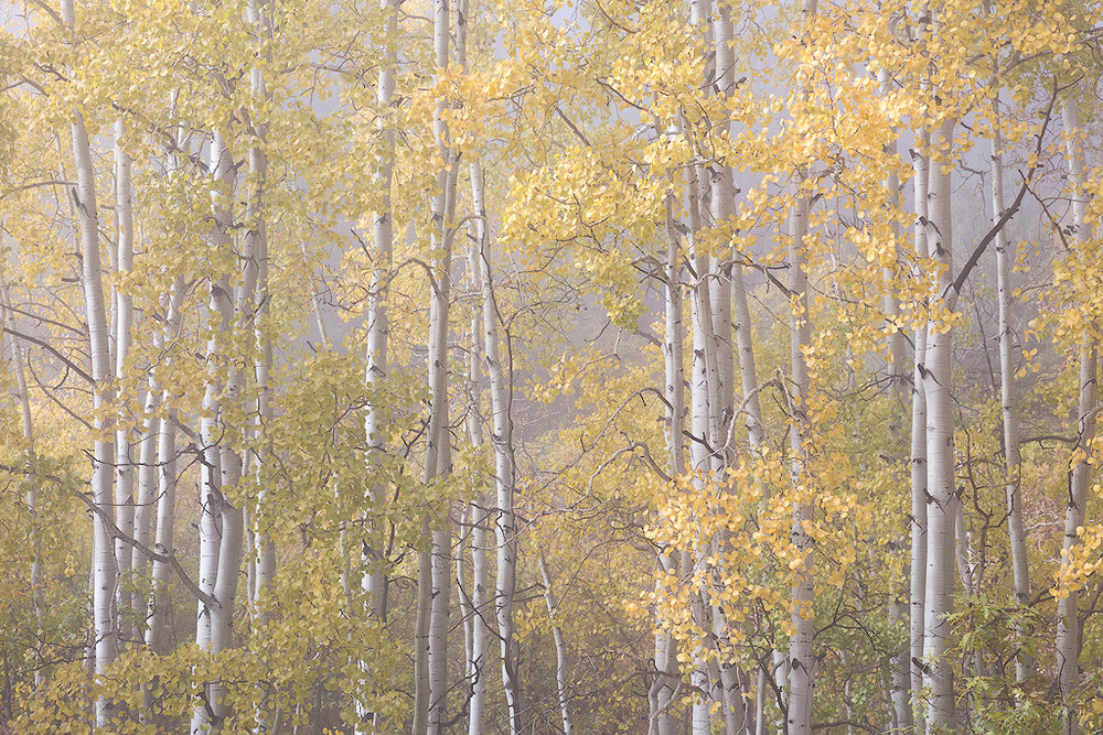 """Fogged"" - Fall aspens in a layer of ephemeral fog"