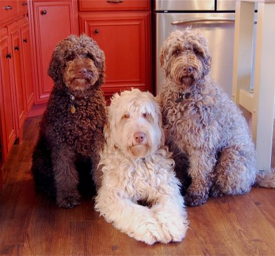 Good Dog Foods For Labradoodle