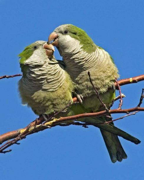 Monk Parakeets, National Audubon Society