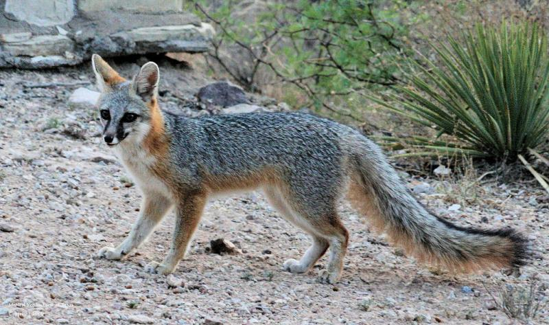Gray-Fox1.jpg