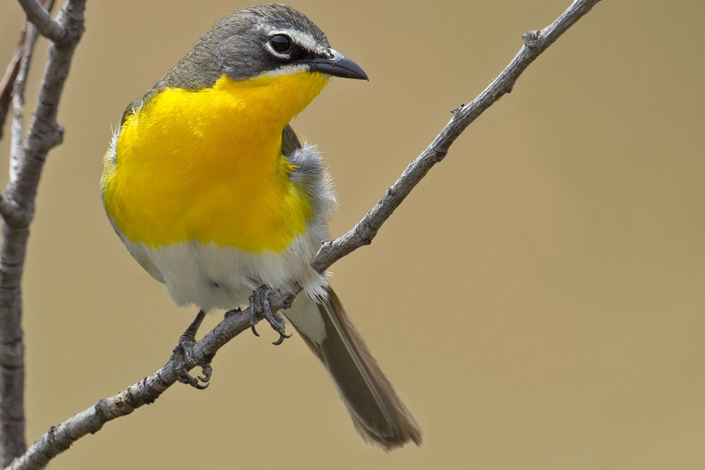 Yellow-Breasted Chat, from Backyard Birds