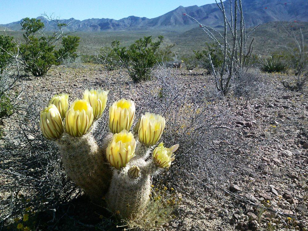 Texas Rainbow Cactus in bloom