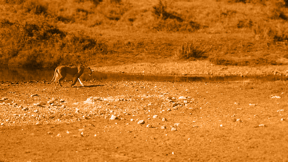 Lioness by the water hole  / 2005 / Dinah Sanders / CC via  Flickr