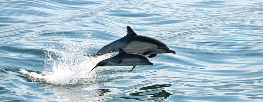 Copy of Dolphin Jumping - Rover Boat Tours