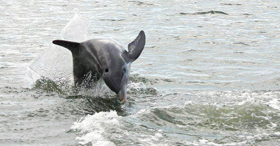 Dolphin Jumping - Rover Boat Tours