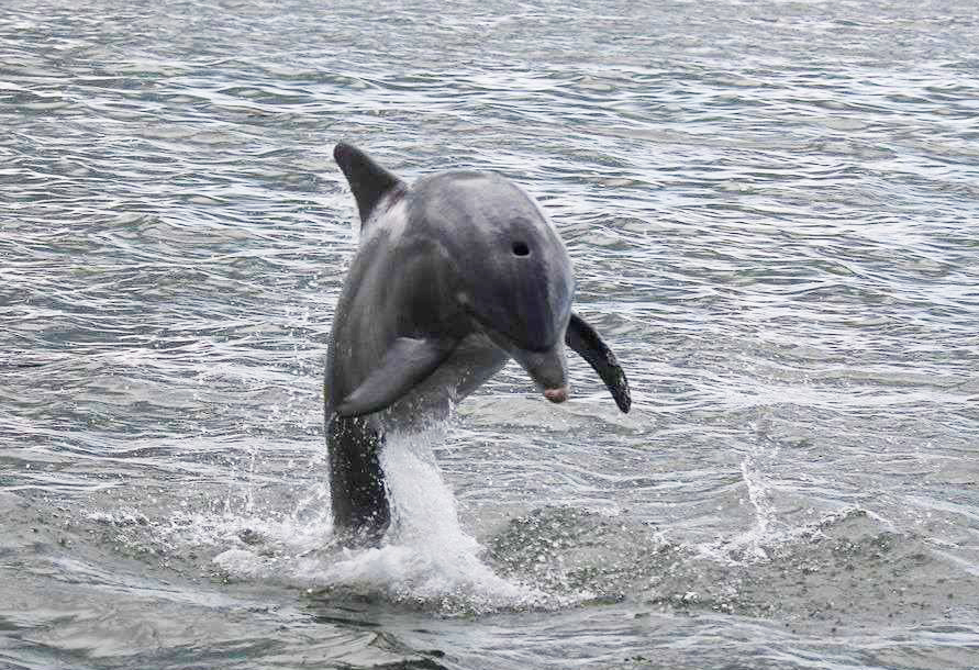 Dolphin pic - Rover Boat Tours