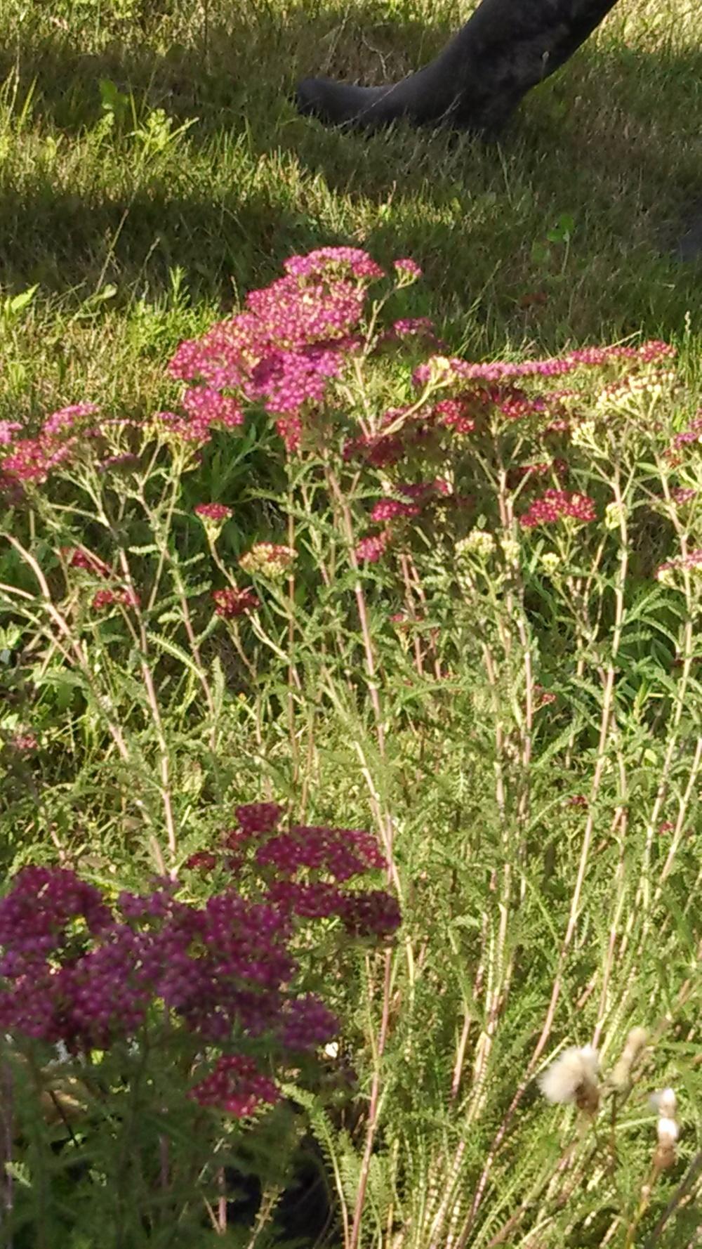 yarrow Achillea millefolium.jpg