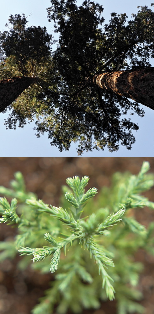 As Above, So Below   Sequoia Trees / Sequoia seedling