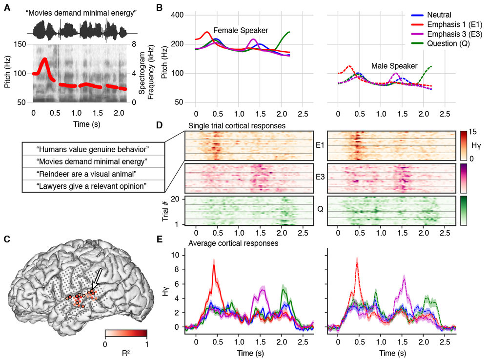 Tang, C., Hamilton, L.S., & Chang, E.F. (2017). Intonational speech prosody encoding in the human auditory cortex. Science, 357(6353): 797-801. doi:10.1126/science.aam8577.