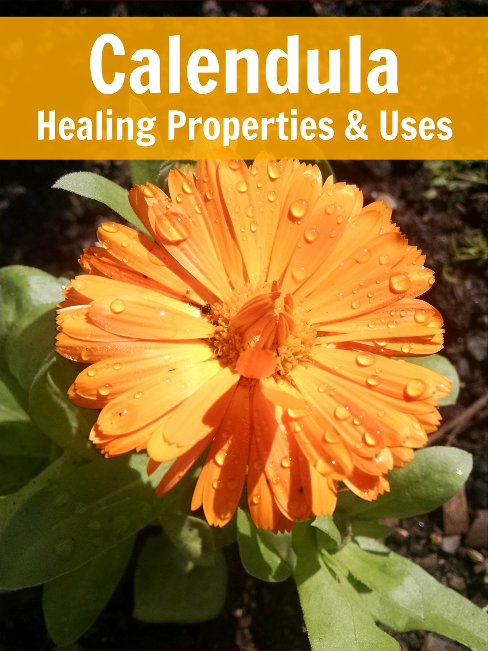 Healing properties of and uses for Calendula