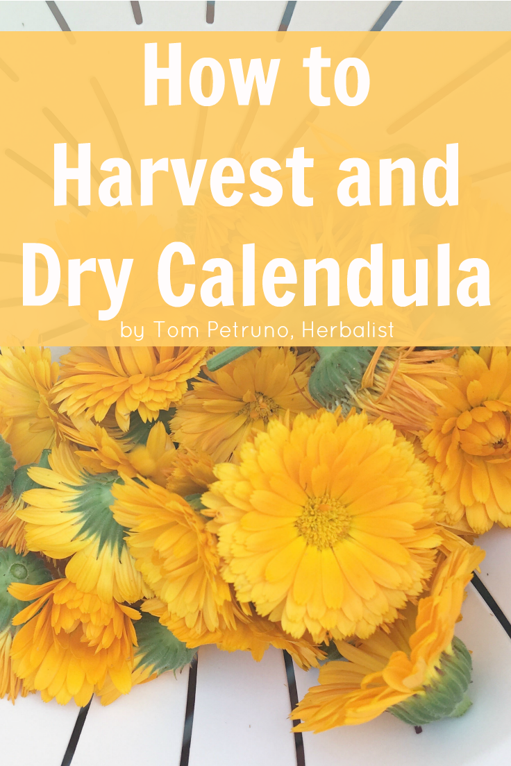 Instructions for harvesting and drying calendula flowers to retain peak quality