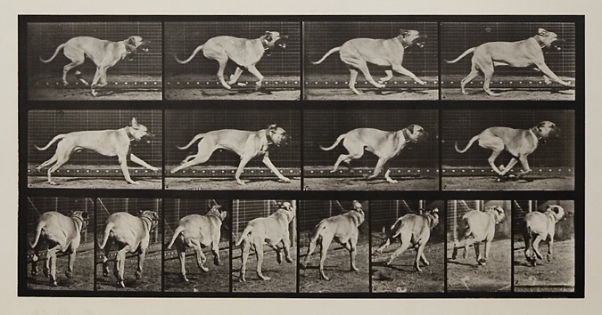 """Dread"" galloping. [Dog].   Plate 707 from  Animal Locomotion , ca. 1887. Vintage Collotype, printed 1887. Image measures 7 5/8 x 15 1/4 inches. Inventory #MU017.  SOLD   Terms    