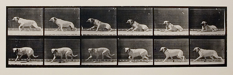 """Smith"" aroused by a torpedo. [Dog]. Plate 714 from Animal Locomotion, ca. 1887. Vintage Collotype, printed 1887. Image measures 5 x 18 inches. Inventory #MU018. Terms  