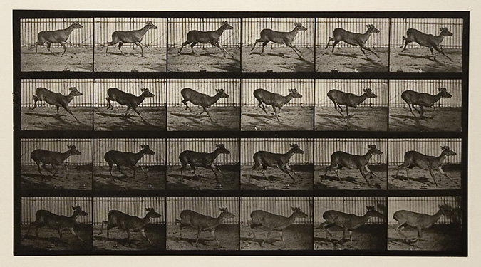 Virginia dear, buck, galloping. Plate 683 from Animal Locomotion, ca. 1887. Vintage Collotype, printed 1887. Image measures 8 x 14 3/4 inches. Inventory #MU019. Terms  |  Inquire