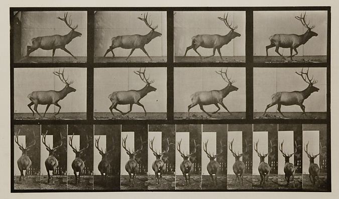 Elk galloping, irregular. Plate 694 from Animal Locomotion, ca. 1887. Vintage Collotype, printed 1887. Image measures 8 3/16 x 14 1/8 inches. Inventory #MU022. Terms  |  Inquire