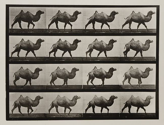 Bactrian camel walking.   Plate 737 from  Animal Locomotion , ca. 1887 . Vintage Collotype, printed 1887. Image measures    9 5/16  x 12 7/16 inches. Inventory #MU034.  Terms    |    Inquire