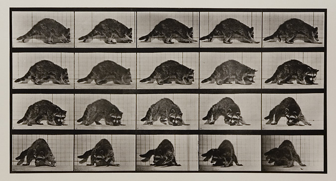 Raccoon walking and turning around. Plate 745 from Animal Locomotion, ca. 1887. Vintage Collotype, printed 1887. Image measures 7 3/4  x 14 7/8 inches. Inventory #MU035. Terms  |  Inquire