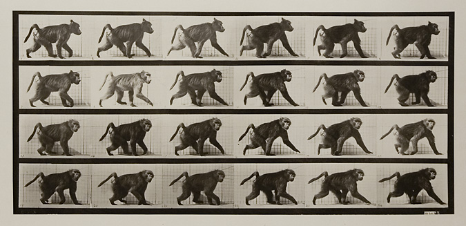 Baboon walking on all fours. Plate 748 from Animal Locomotion, ca. 1887. Vintage Collotype, printed 1887. Image measures 7 3/8  x 16 inches. Inventory #MU036. Terms  |  Inquire