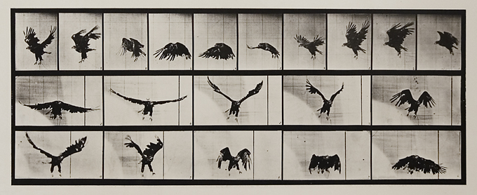 American eagle flying. Plate 769 from Animal Locomotion., ca. 1887. Vintage Collotype, printed 1887. Image measures 6 3/4  x 17 3/16 inches. Inventory #MU040. Terms  |  Inquire