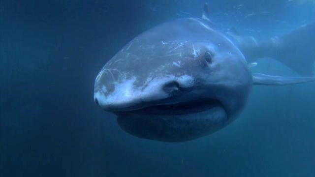 137590322843814126703601197_Alien_Sharks_Megamouth.jpg