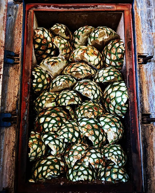 Tequila time! Agave (these at at El Tesoro) are loaded into an oven, where they are essentially slow cooked before being pressed to release a (delicious) syrup that will be fermented, then distilled, and eventually become tequila.