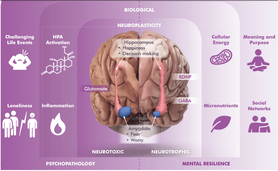 "The right hand part of the diagram shows a 'normal' brain, and the left hand part is of an 'over-stressed and anxious' brain.  The left hand side is ""Neurotoxic"" - too much Glutamate (an excitatory brain chemical), too much inflammation, challenging life events and loneliness.  The right hand side is ""Neurotrophic"", (balanced), with good levels of GABA ,(calming brain chemical), micronutrients, social networks, energised cells, and sense of meaning and purpose. You can also see the size difference between the Amygdala and the Hippocampus."