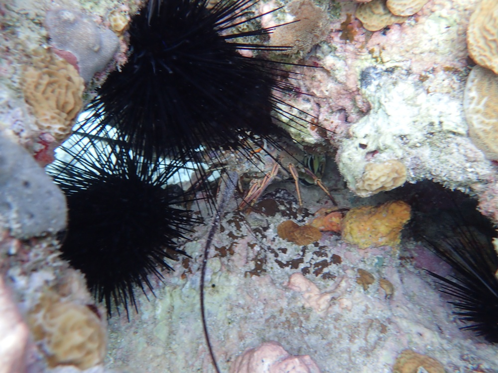 an afternoon snorkel: a little lobster among the sea urchins