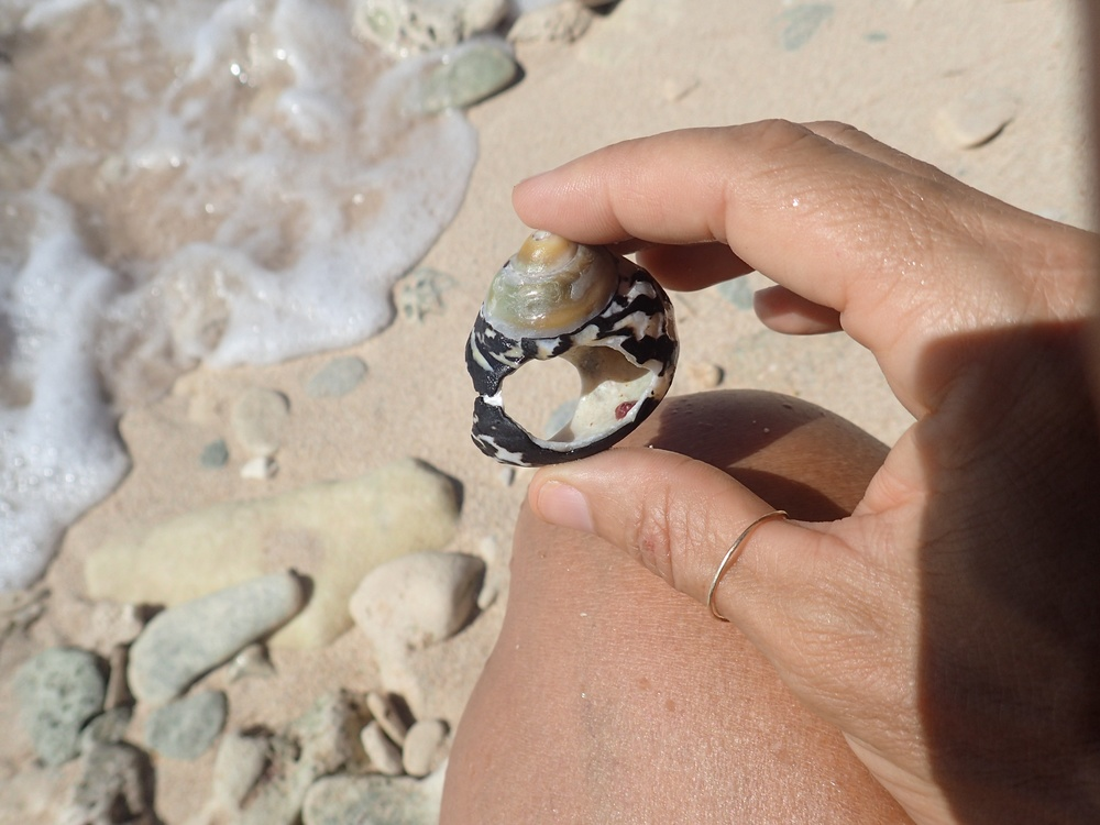 West Indian top shell ring at Reef Bay
