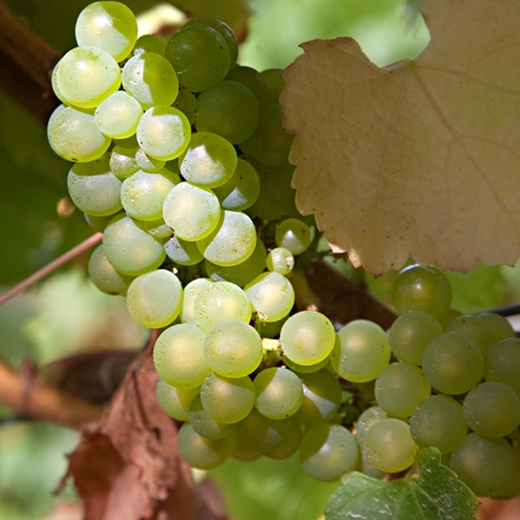 grapes_7694_web.jpg