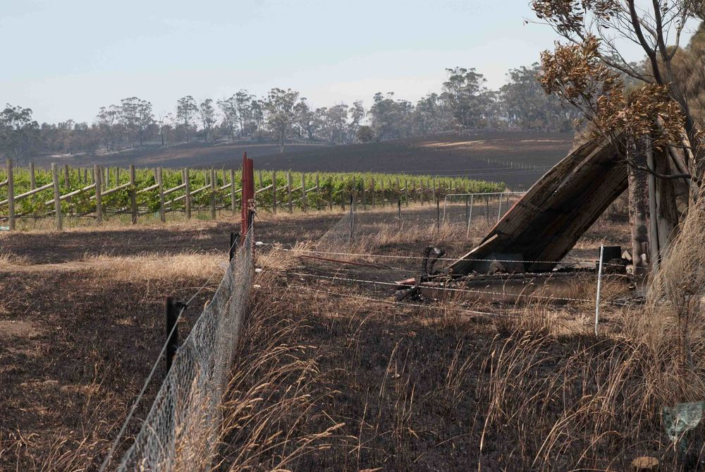 The Bangor vineyard after the fires. The vines miraculously standing as all the paddocks around them burnt.