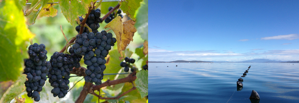 Bangor's Pinot Noir grapes, and Lease 170, Tom's main subtidal oyster lease.