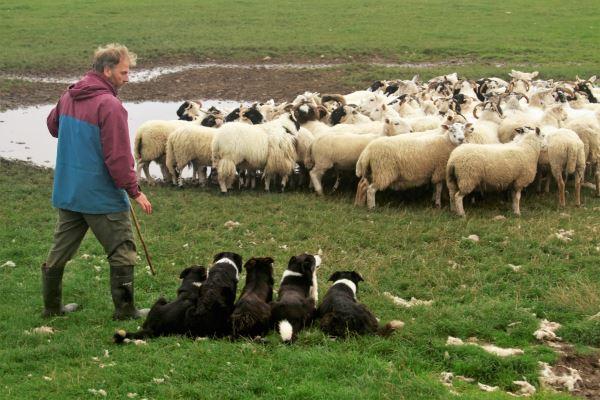 Çoban Köpekleri