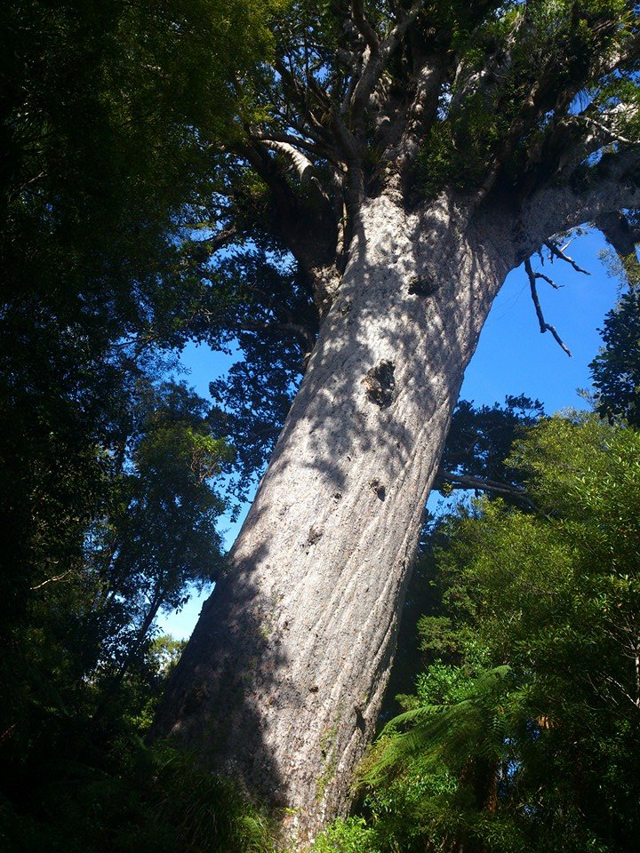 Tane Mahuta - God of the Forest