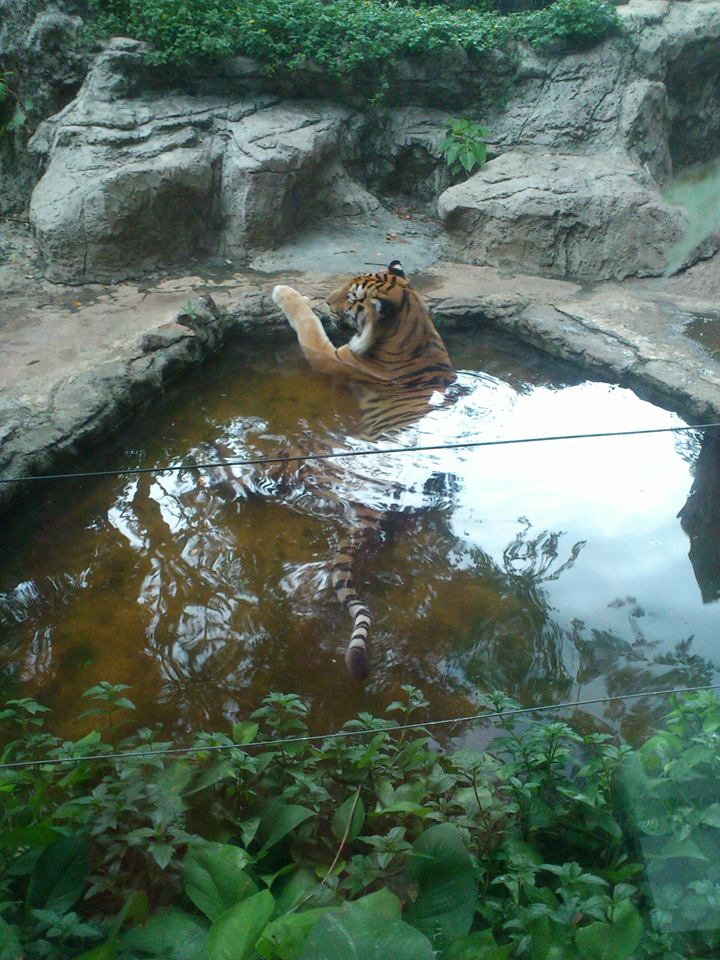 A tiger at Dusit Zoo