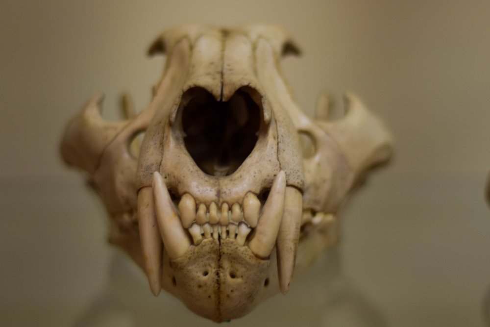 Who knew sabre tooths had cute hearts in their noses?