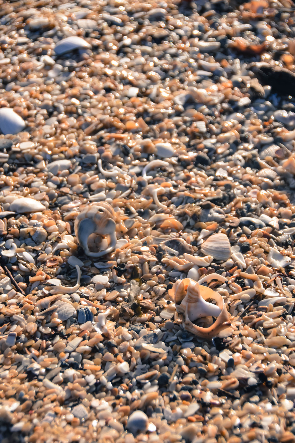 Sea Shells at Flaxmill Bay