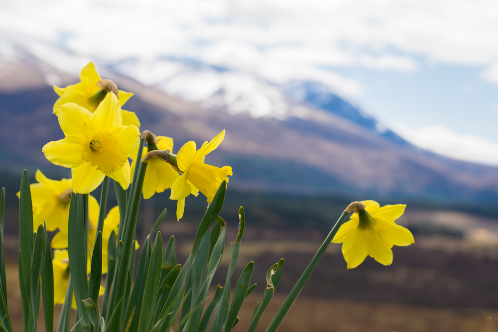 daffodils, spring in Scotland, Ben Nevis