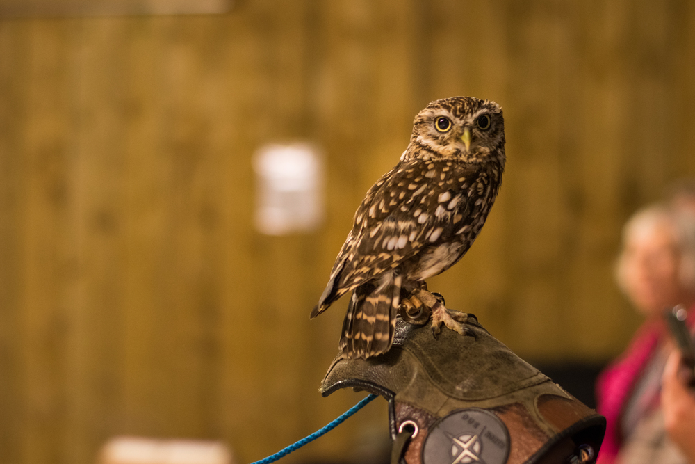 Stella the Little Owl, Rosliston Forestry Centre, Evening with Owls