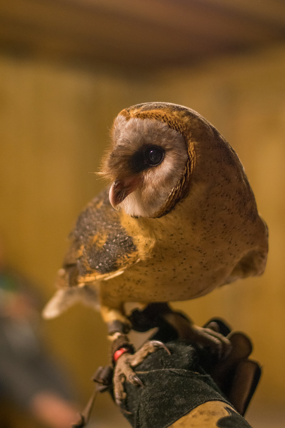 Ana the Barn Owl, Rosliston Forestry Centre, Evening with Owls