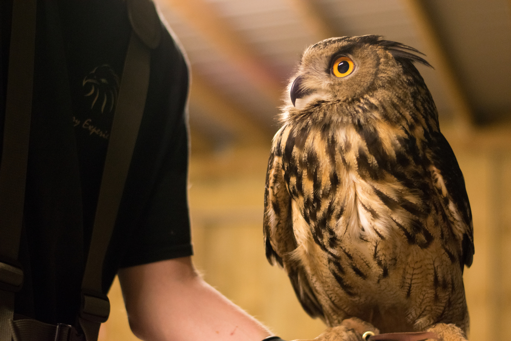 Karl the European Eagle Owl, Rosliston Forestry Centre, Evening with Owls