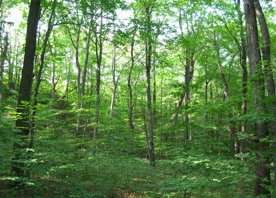 maple_beach_forest_556x400.jpeg