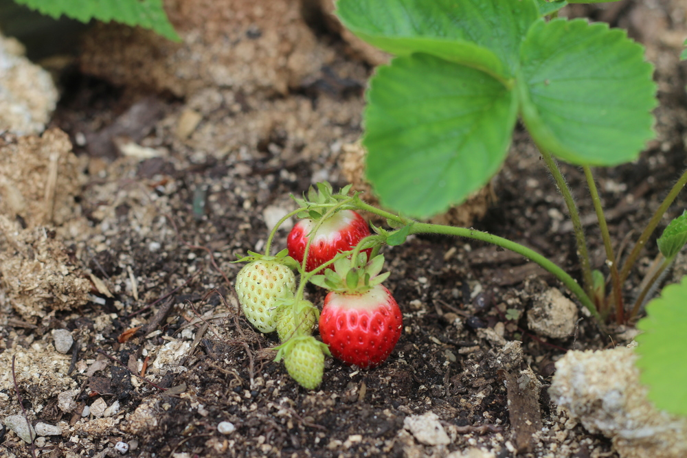 Strawberries sprouting in Joseph and Jen's personal garden
