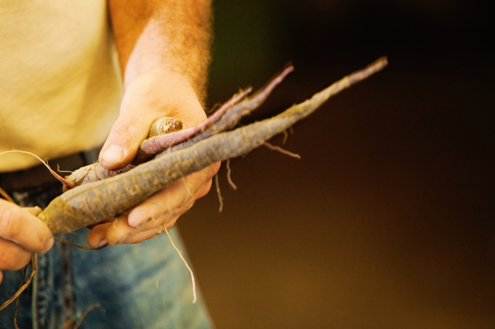 Dragon Carrots, one of Adam Welly's favorite heirloom varieties they grow at Wayward Seed Farm.