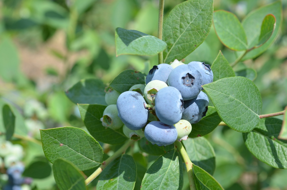 Blueberries growing in Ohio