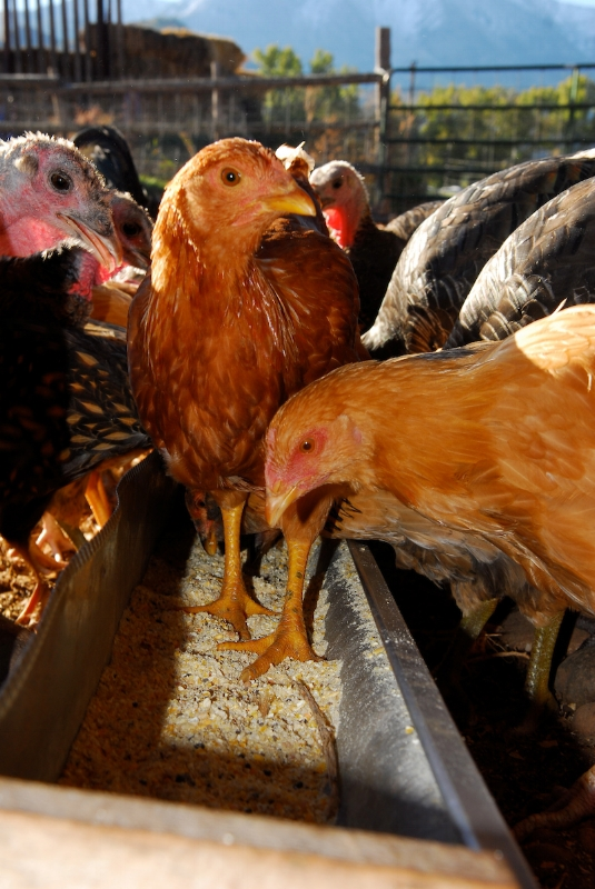 Chickens can even serve as non-traditional family pets in some circumstances