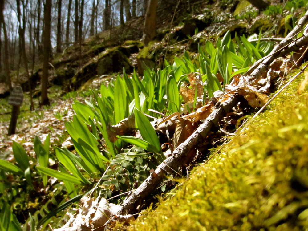 Wild ramps catching some early spring sun, private land in Meigs County, Ohio.
