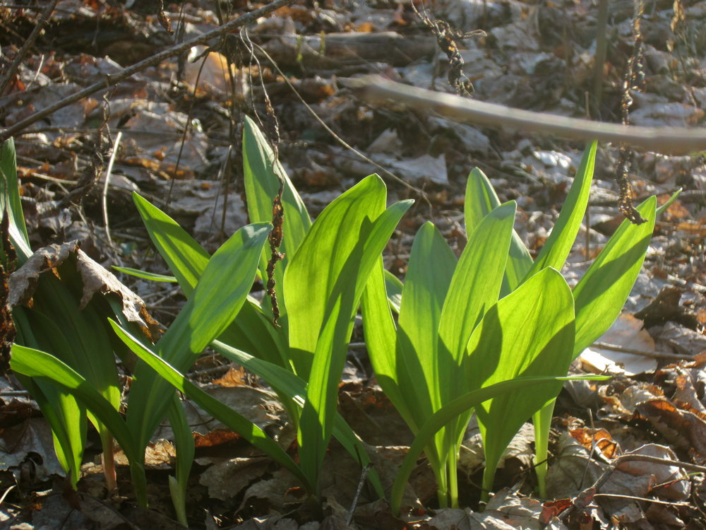 Forest farmed ramps in Meigs County, Ohio.